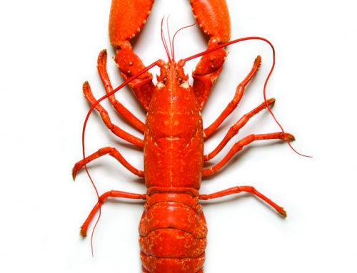 Cooked European Blue Lobster