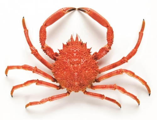 Cooked Spider Crab